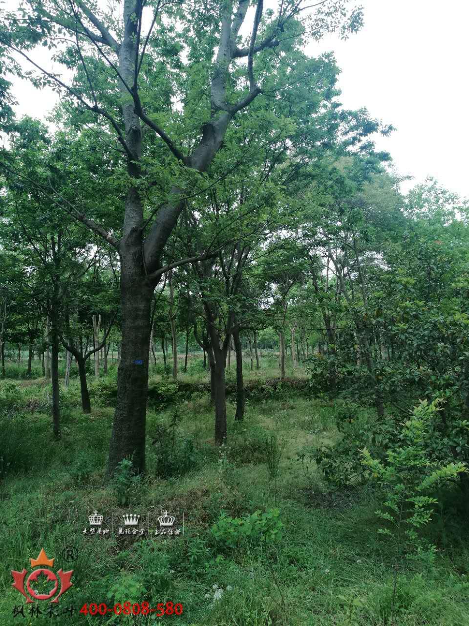 朴树,小叶朴,大叶朴,珊瑚朴