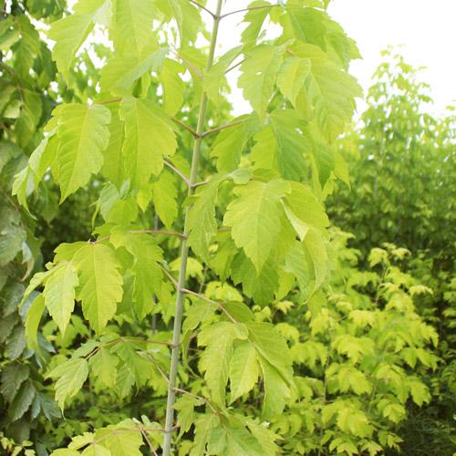 金葉復葉槭