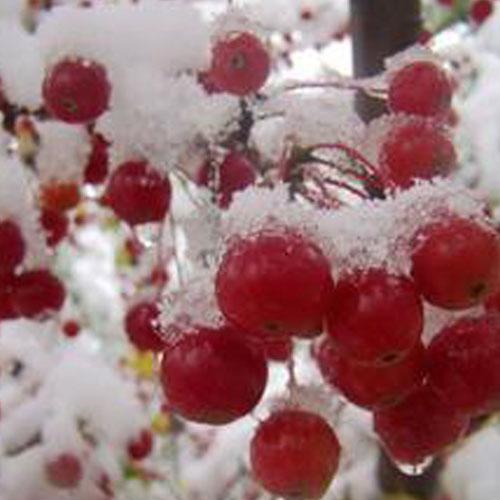 北美海棠,高原之火,红叶海棠,红宝石海棠
