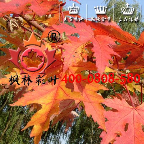 银槭,银白槭,银红槭